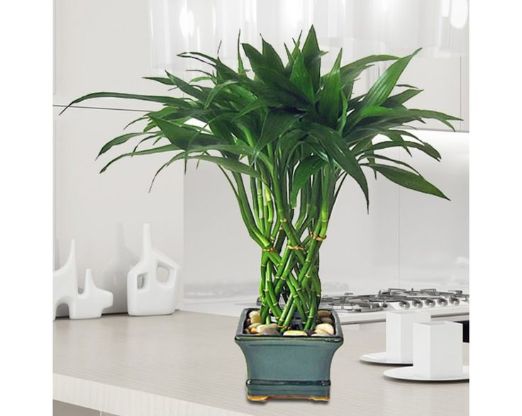 Plantas para decoracion de interiores 61 curso de - Plantas de interior altas ...
