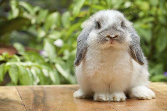 Cuidados para un conejo domestico