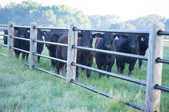 Cercospara ganado