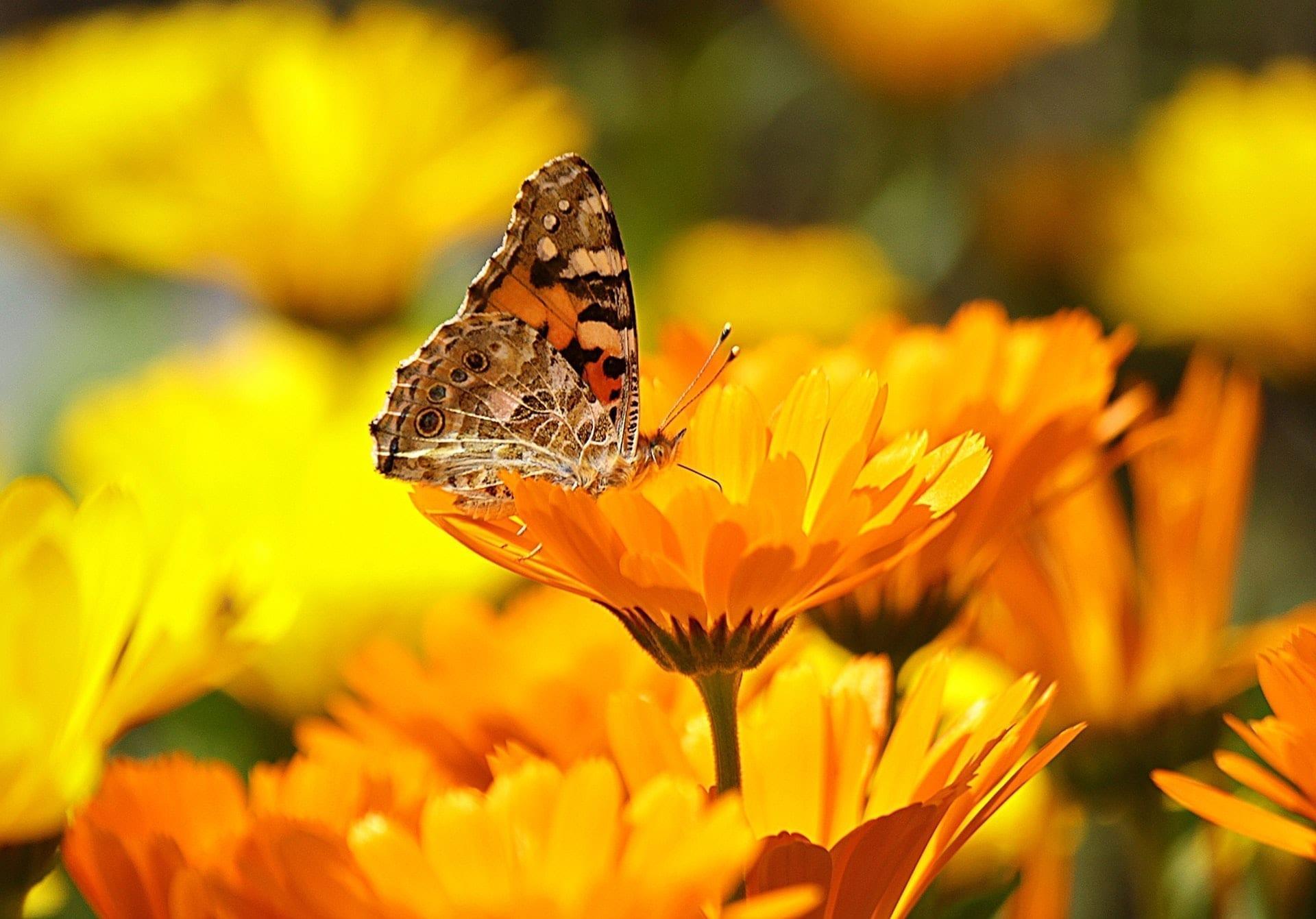 Caléndula como repelente de insectos natural