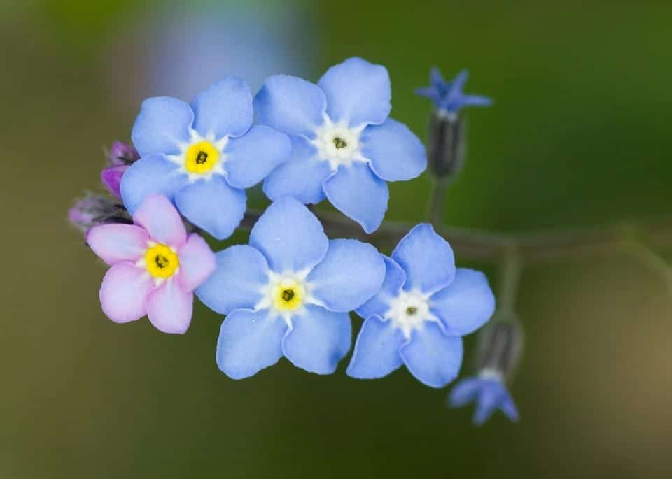 Flores no me olvides para jardín