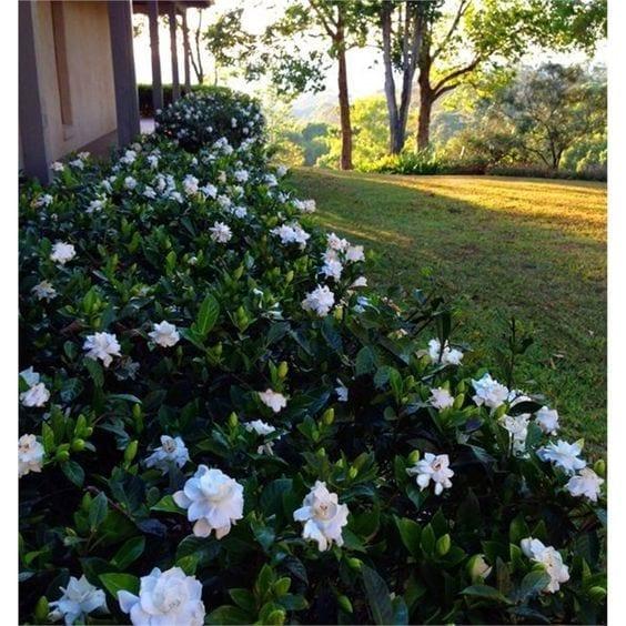 Gardenias para jardín