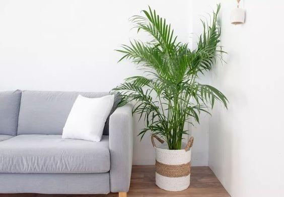 Palmeras de bambú para purificar tu hogar