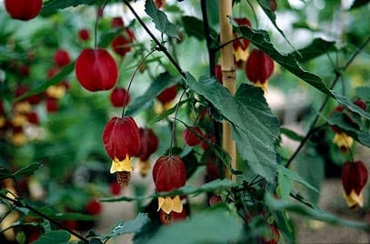 Planta abutilon para jardín