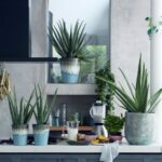 Plantas de sábila o aloe vera para interiores