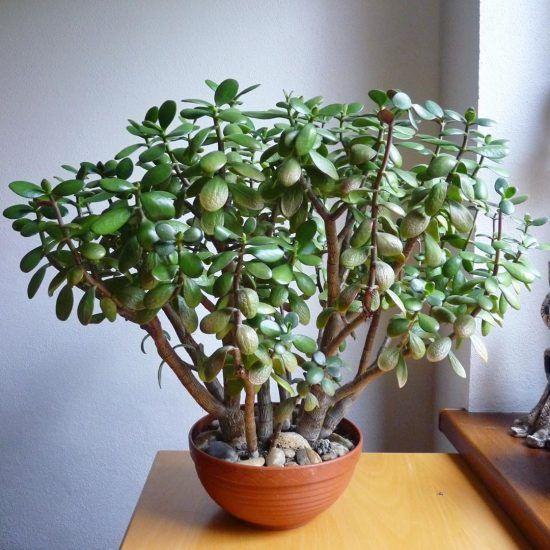 Árbol de jade para interiores