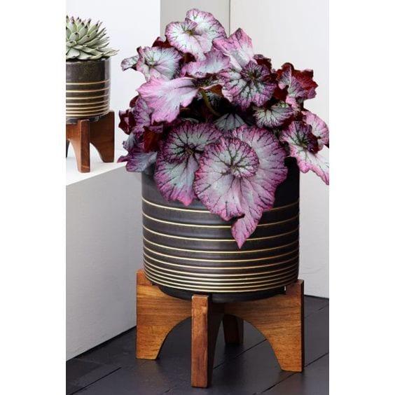 Begonias para interiores