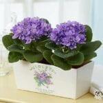 Decoración de interiores con violetas