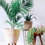 Palma de Bambú